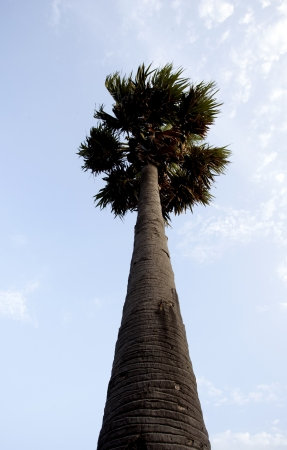 palm tree isolated on blue sky background