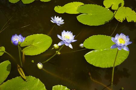 Lotus flower and Lotus flower plants Stock Photo