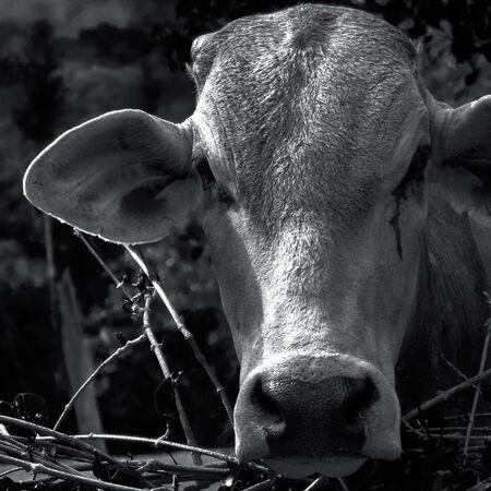 Calf portrait black and white