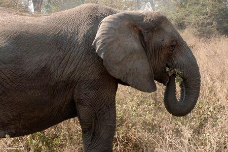 Elephant in Ngorongoro Crater Conservation Area, Tanzania Stock fotó