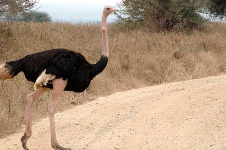 Ostrich in Tarangire National Park, Tanzania