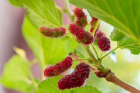 black textured background: Mulberry and leaves on a tree, mulberry have Red and black color it good health berry fruit Stock Photo