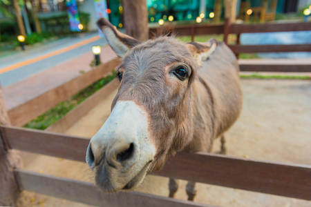 jack ass: the zoo or farm show donkey in the corral