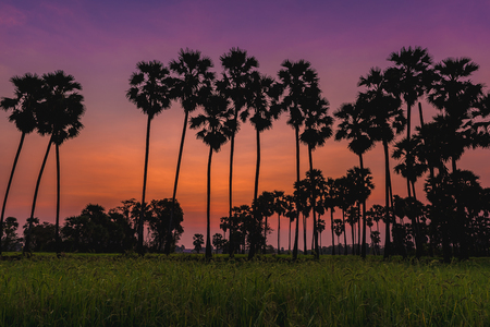 the sun silhouette morning light of sugar palm on bright blueand orange sky background, sugar plam in thailand