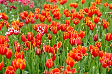 Beautiful red tulips in a garden full of bright sunny days.