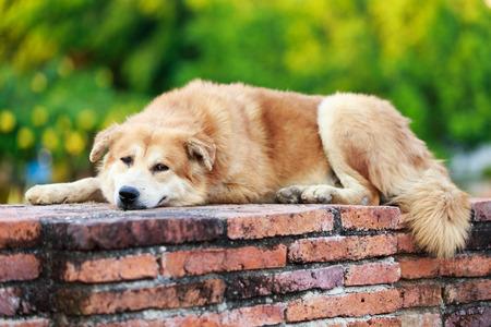Thai brown dog on ancient wall, Thailand