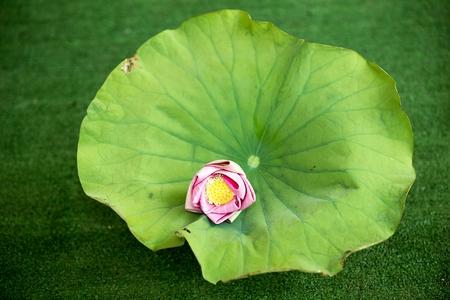 Pink lotus flower rests on a lotus leaf. Фото со стока