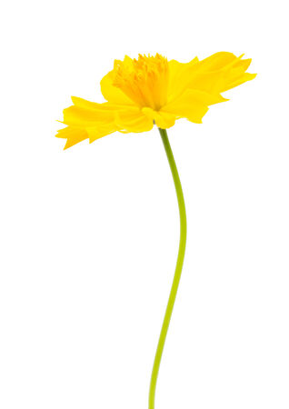 Yellow cosmos flower isolated on white background photo