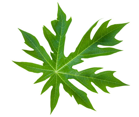 papaya leaf isolated on white background 版權商用圖片 - 35979718
