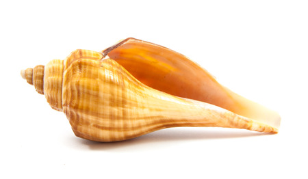 Seashell in close-up isolated on a white background 版權商用圖片 - 42771119