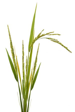 paddy rice isolated on white background