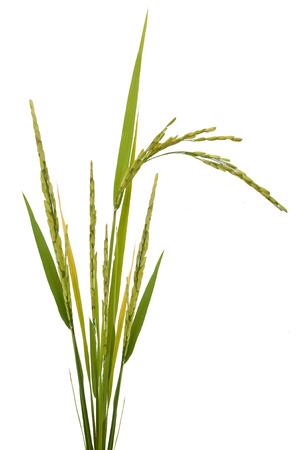 Pflanzen: Paddy-Reis auf weißem Hintergrund Lizenzfreie Bilder