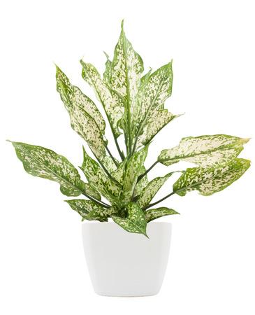 dieffenbachie lat dieffenbachia green plant in flower pot isolated on white background 版權商用圖片 - 46644799