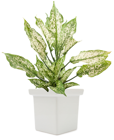 flower in pot: dieffenbachie lat dieffenbachia green plant in flower pot isolated on white background