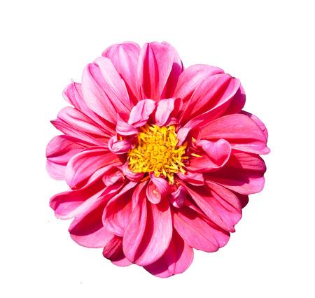 mona lisa: mona lisa flower pink flower spring flower isolated on white background