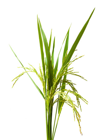 green spike  rice Isolated on white Background Stock Photo