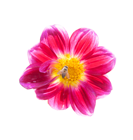 mona lisa: mona lisa flower pink flower spring flower with bee isolated on white background