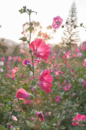 hock: flowers in the garden flowers holly hock hollyhock pink sun set