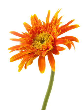 yellow gerbera isolated on: single gerbera  flower yellow isolated on white background