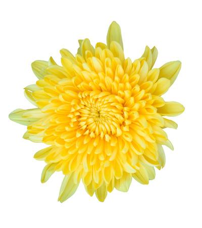 isolated on yellow: yellow chrysanthemum isolated on white background