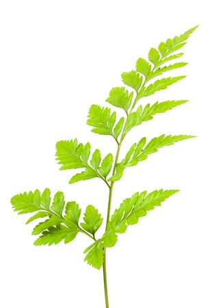 fern isolated on white background
