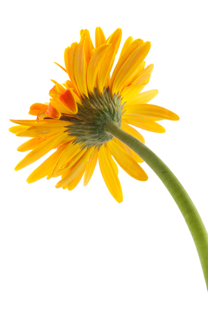 yellow gerbera isolated on: back single gerbera  flower yellow isolated on white background