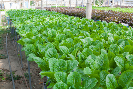 hydroponic vegetable is planted in a garden