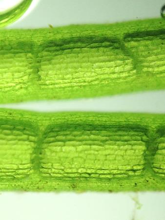 filamentous: zoom microorganism algae