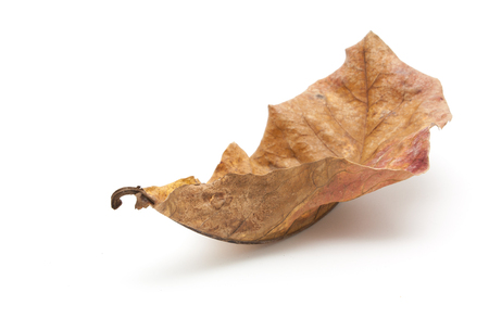 dry leaf: Dry leaf closeup on the white background