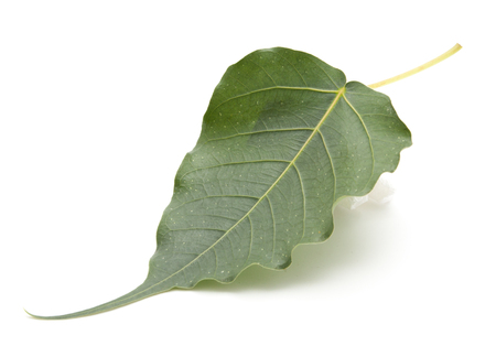 bo: Bo leaf isolated on white Stock Photo