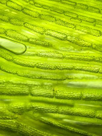 Beautiful zoom micro organism algae cell