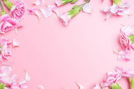 pink carnations flower for on pink background