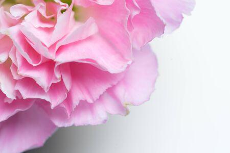 close up pink carnation on white