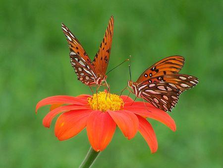 Two Gulf Fritillary Butterflies on Torch Mexican Sunflower photo