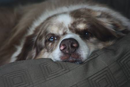 doggie: Australian Shepherd Dog Resting in Doggie Bed