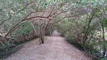mangroves: Trail through mangroves weedon island
