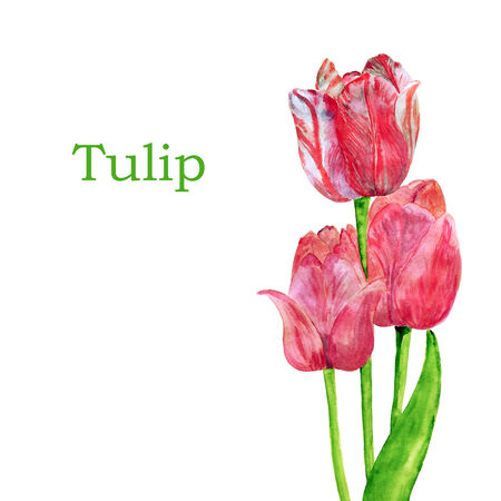 breezy: Card with tulips on a white background. Watercolor.