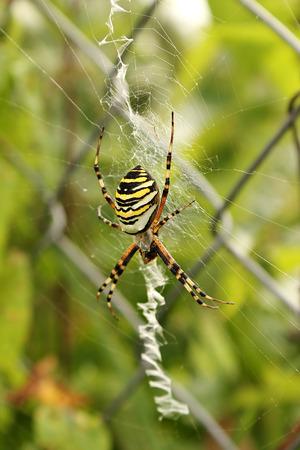 The female spider wasp ( Argiope bruennichi) on the web. photo
