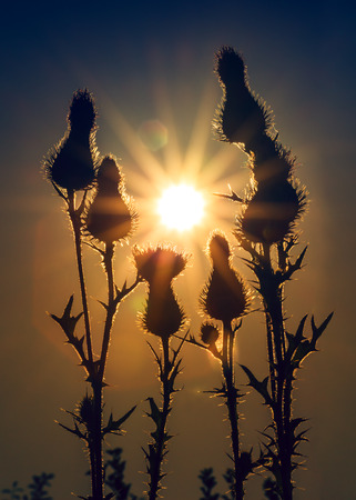 thistle plant: Thistle and sun. Thistles at sunrise. Flowers at sunrise. Nature background. Vintage photo effect.