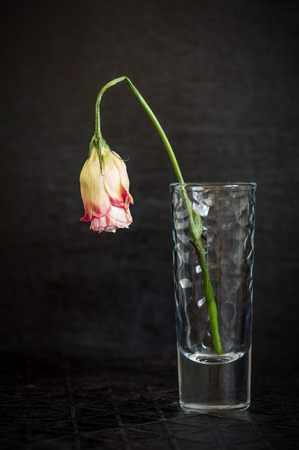 wilting: Beautiful flower wilting rose on a dark background. The symbol of sadness and loneliness. Stock Photo