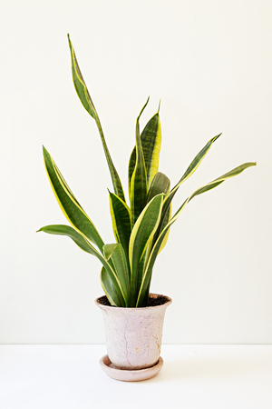 Sansevieria trifasciata, or the Mother-in-Laws Tongue in an old flowerpot on a white table.