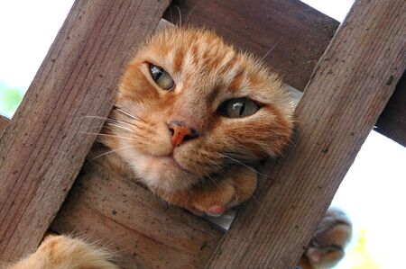 A Cat pokes her head through an overhead trellis.