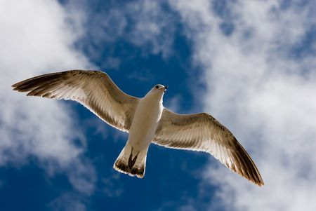 A gull spreads her wings and floats above the warm California coast.