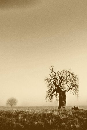 A grainy, gritty old oak tree, with a photo that parallels these qualities. Purposefully grainy and sepia toned to match the feel of that misty morning and ancient oak.