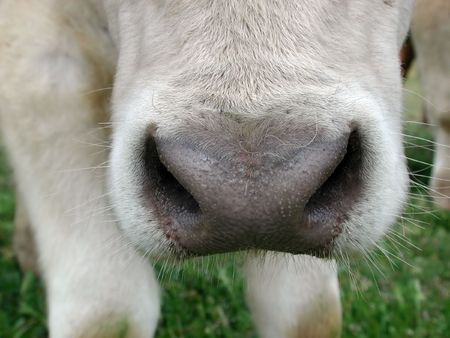 A humorous extreme close up of a cows wet nose. Stock Photo