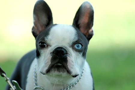 A very serious brown and blue eyed Boston Terrier stares into the camera.