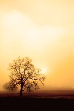 An old oak tree forms a sillhoette on a foggy, misty morning.  The rising sun and a sepia tone give this photo a warm, moody feel. Stock Photo