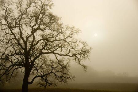 An old oak tree forms a sillhoette on a foggy, misty morning.