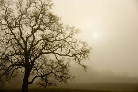 cloudy moody: An old oak tree forms a sillhoette on a foggy, misty morning.