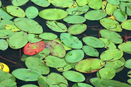 Lily pads on the surface of a pond. Stock Photo - 366958